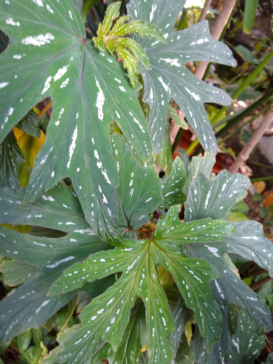 Metallic begonia