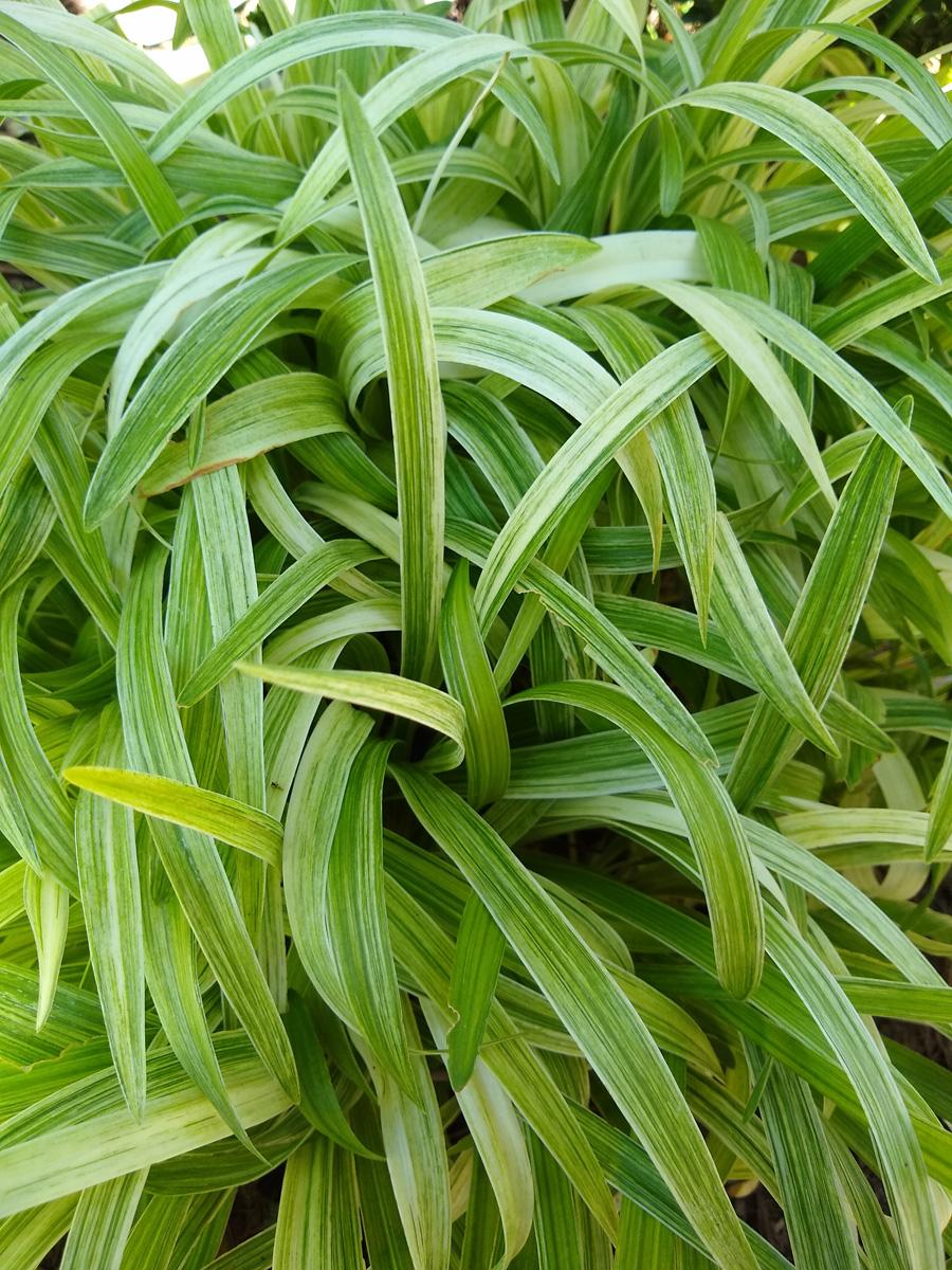'Sno Cone' lily turf