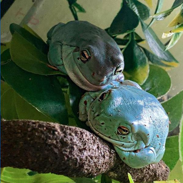 Australian tree frogs