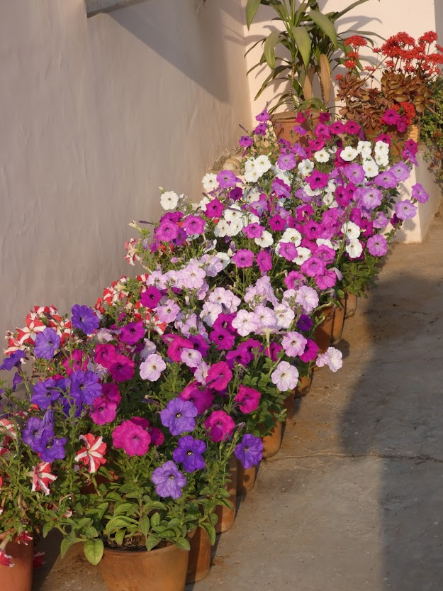 petunias in containers
