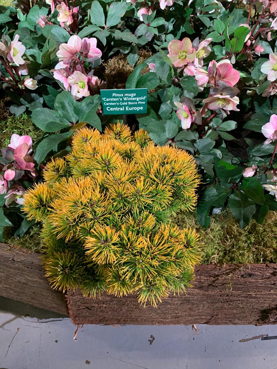 'Carsten's Wintergold' mugo pine