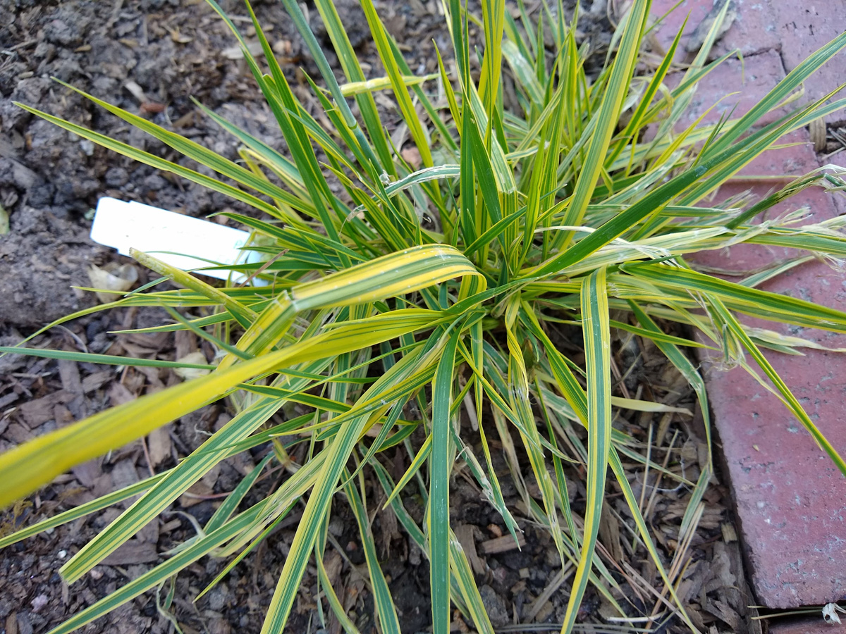 Golden foxtail grass