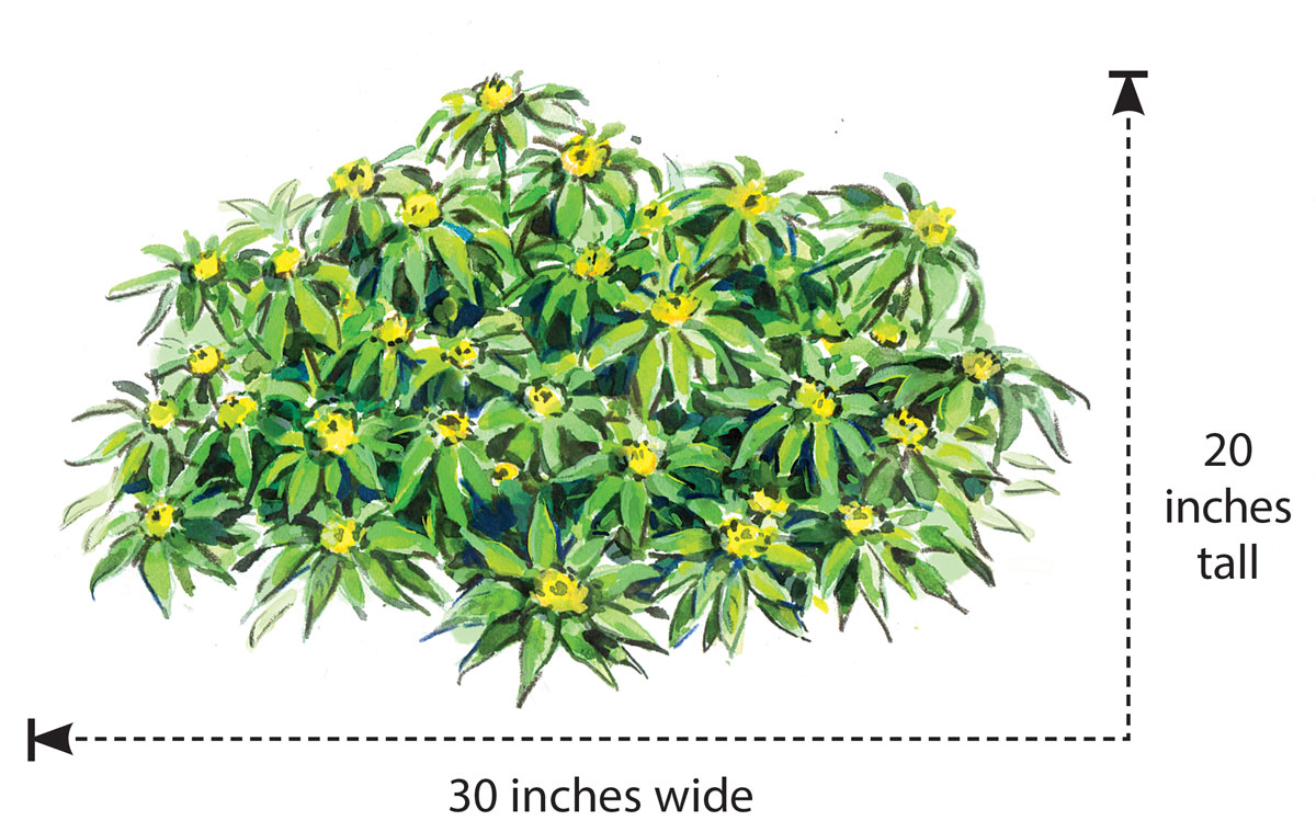 Narrow-leaved Chinese loosestrife