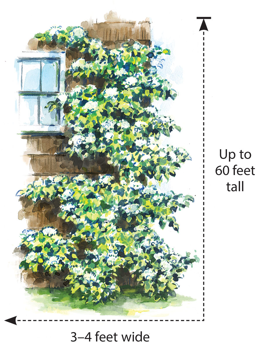 Grow this hydrangea for its foliage – and its ability to climb