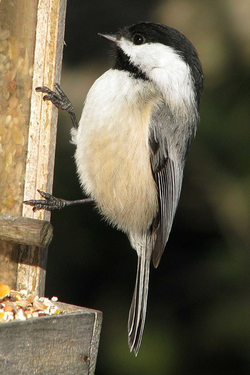 Black-capped tit