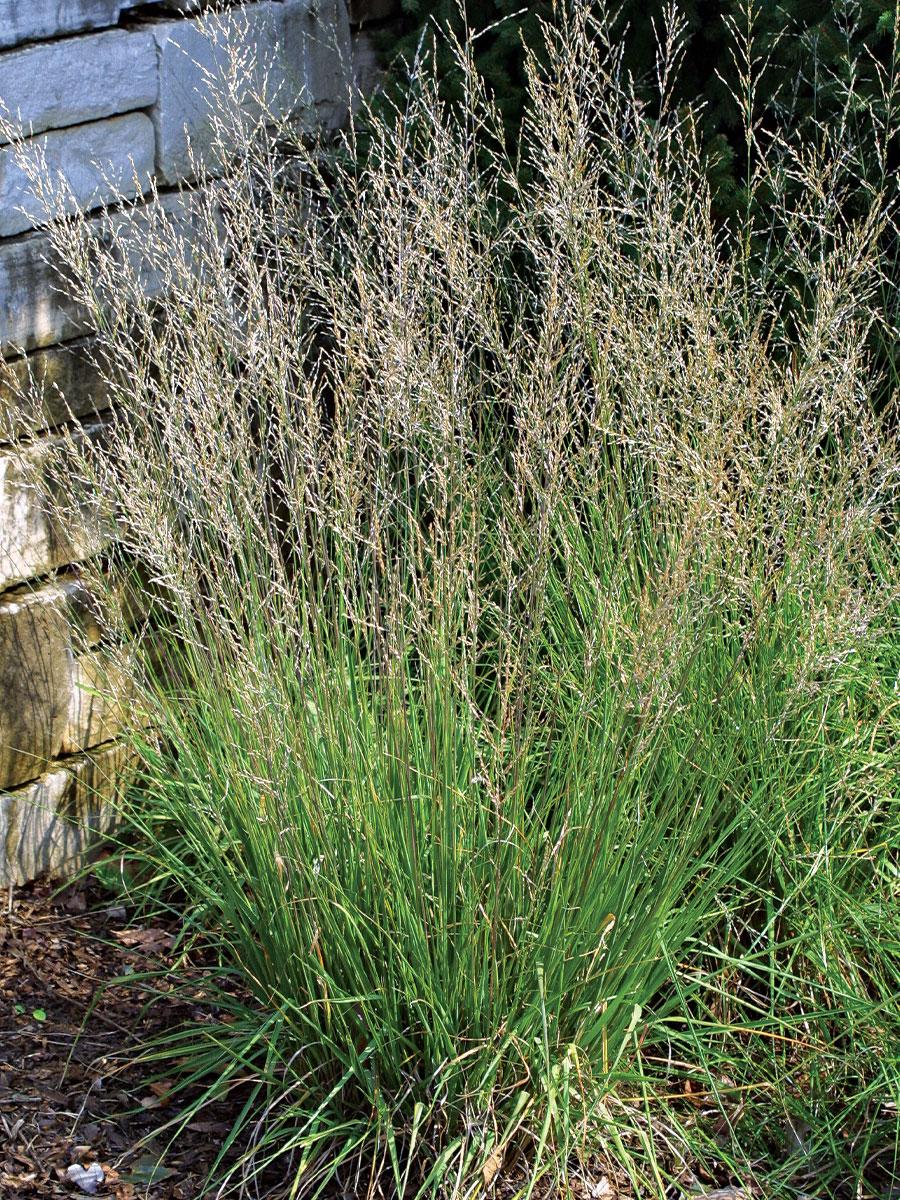 Moorflamme moor grass