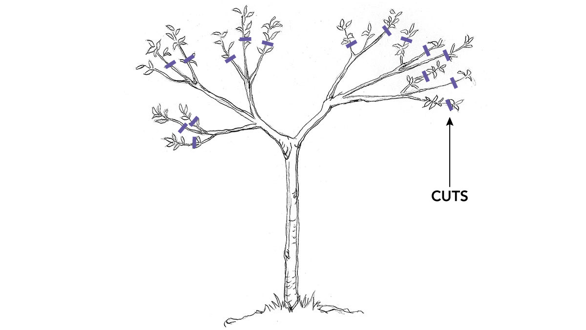 late summer fruit tree pruning
