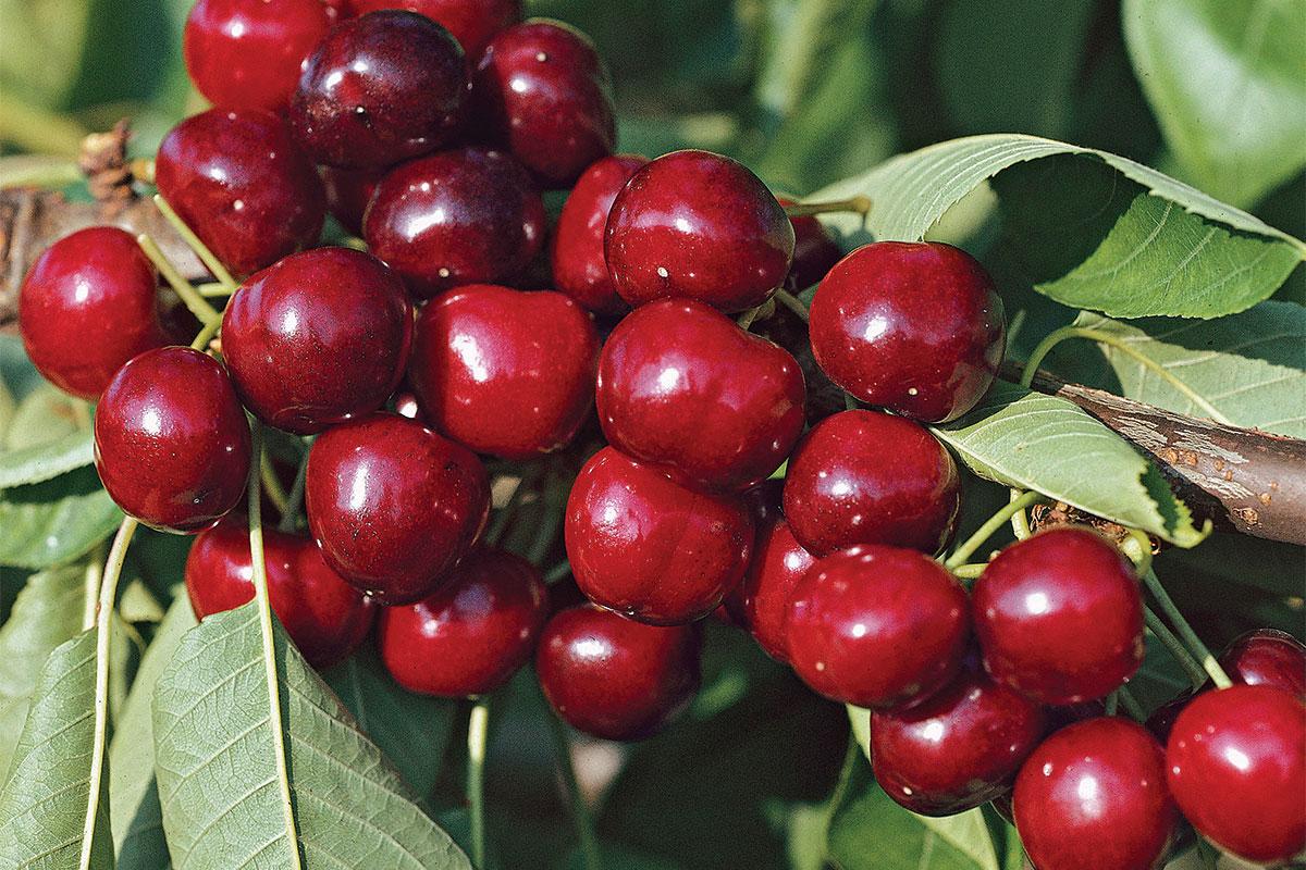 Compact Stella Cherry