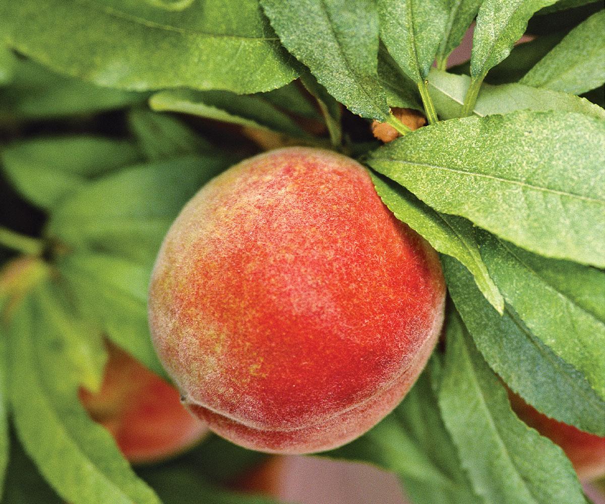 Honey Babe Miniature peach