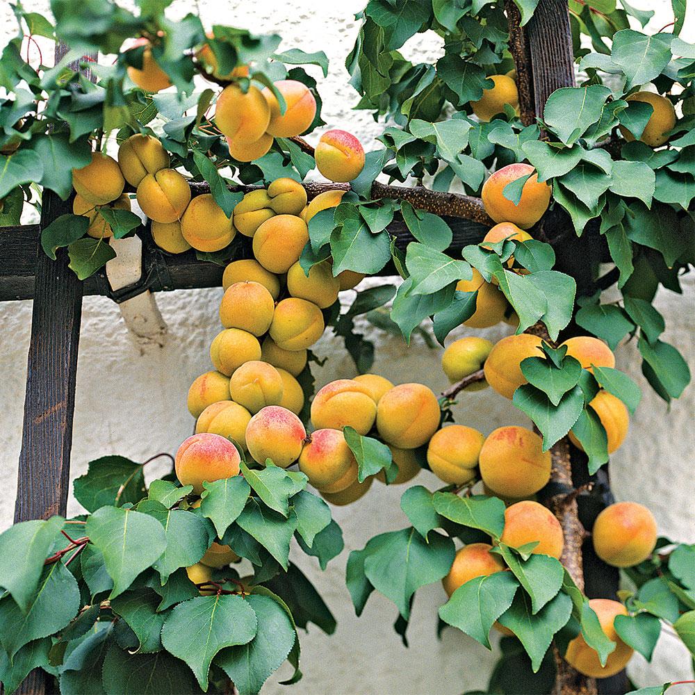 Pixie-cot Apricot