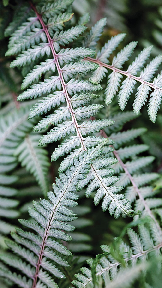 'Branford Beauty' painted fern makes an elegant focal point