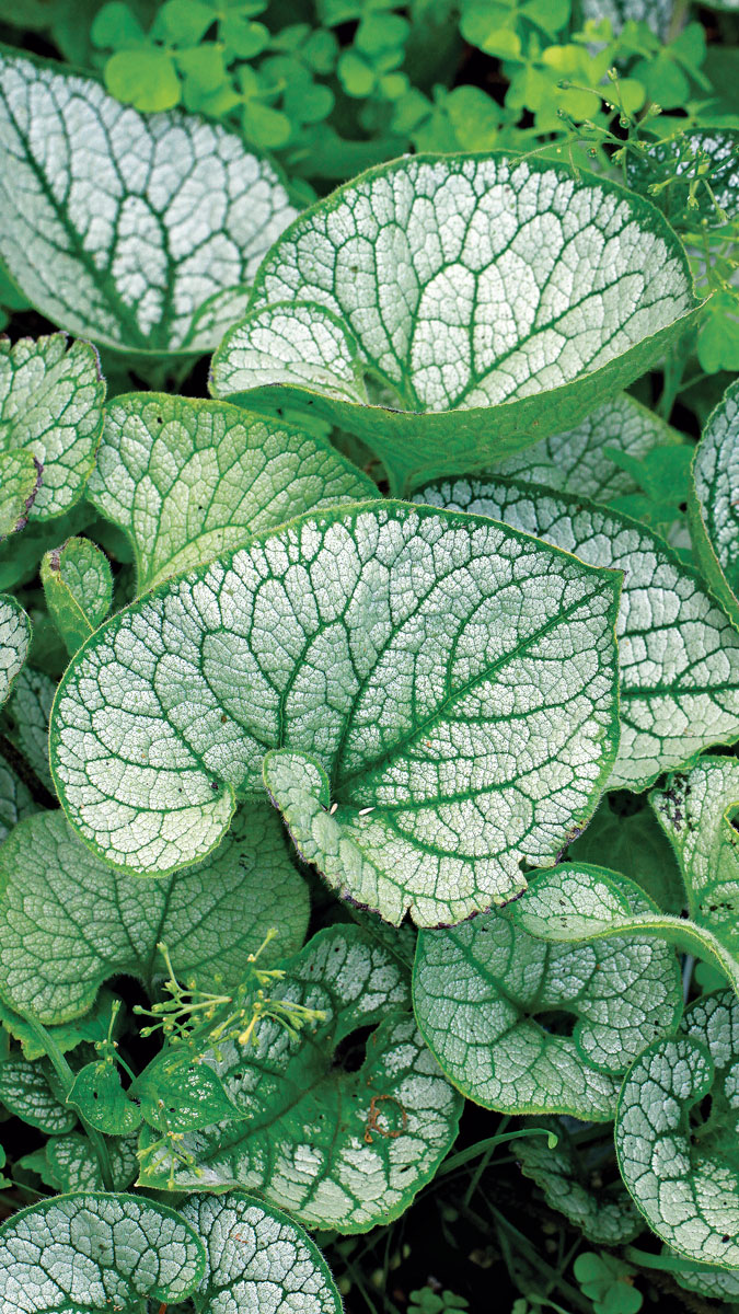 'Sea Heart' brunnera is tops for handling heat and humidity