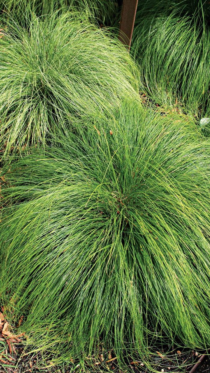 Plant 'Silk Tassel' Japanese sedge up close to admire its foliage