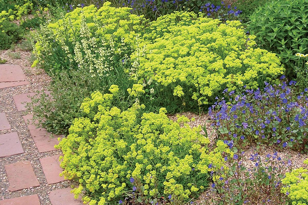 Kannah Creek® buckwheat • Eriogonum umbellatum var. aureum 'Psdowns'