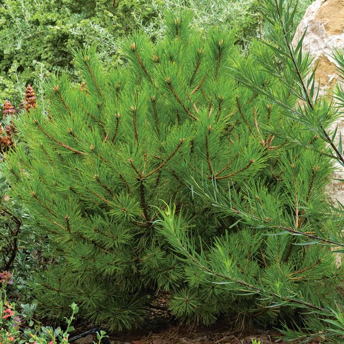 Dwarf pinyon pine