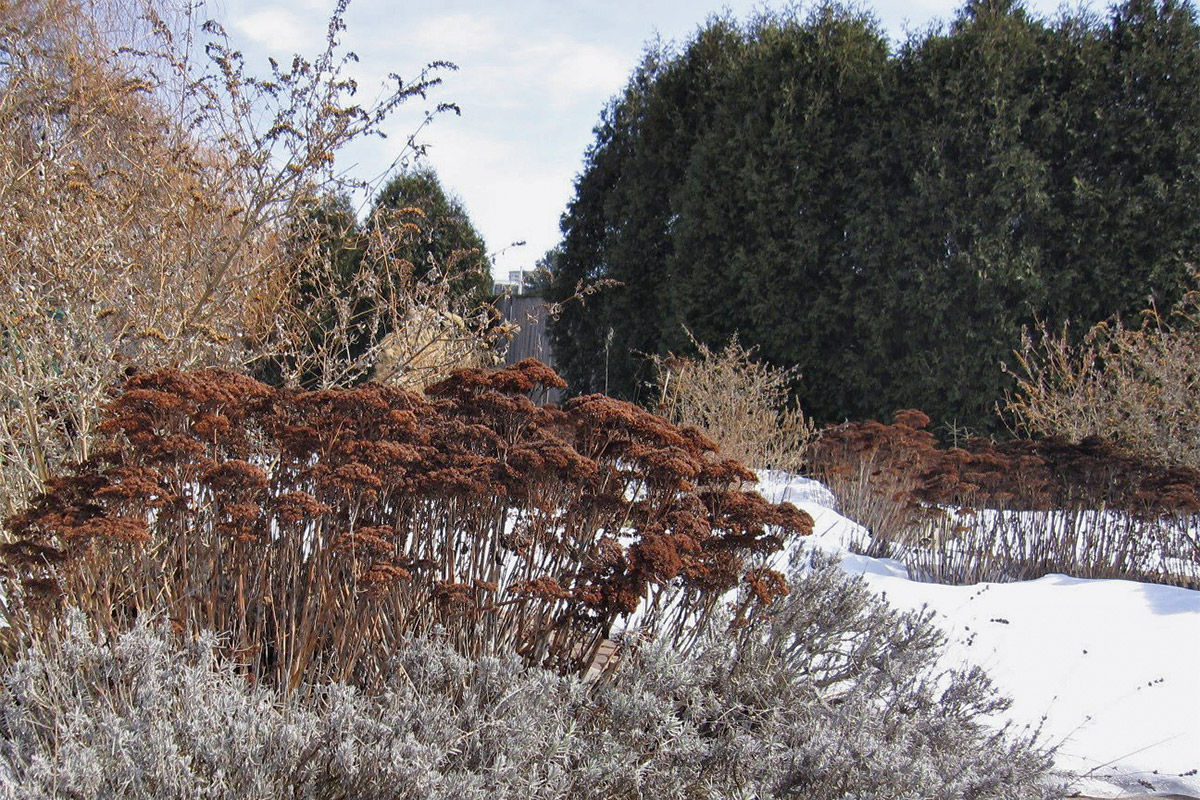 Autumn Joy sedum in winter