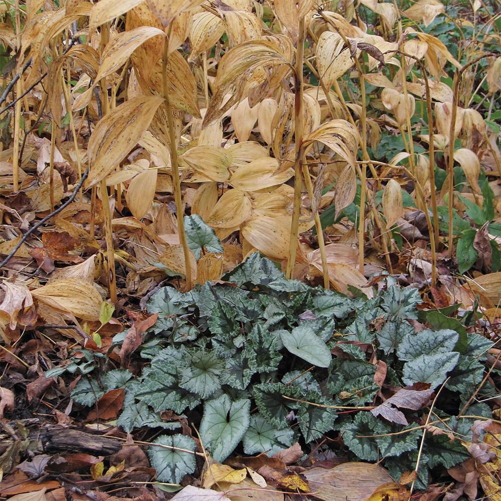 Ivy-leaved cyclamen