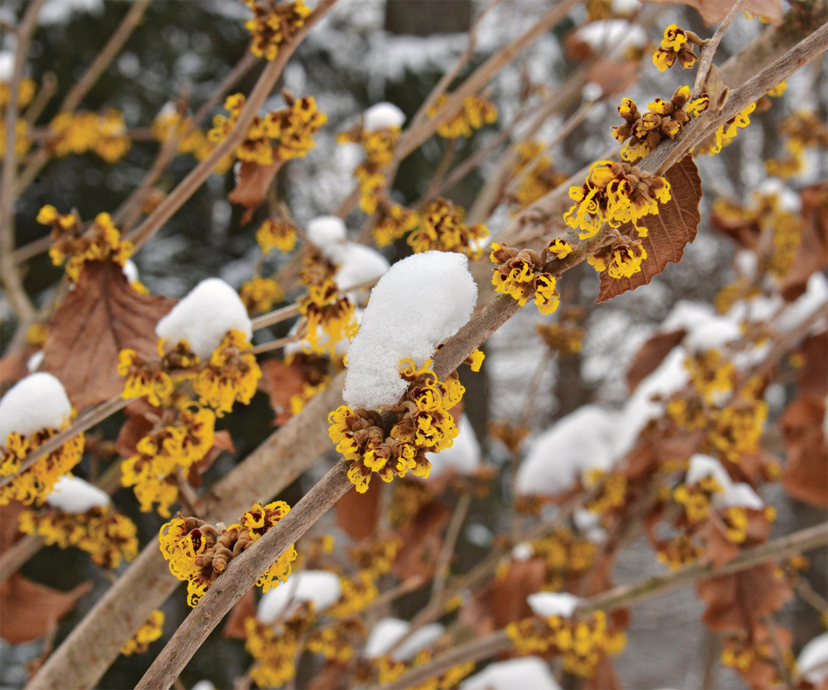 Barmstedt Gold witch hazel