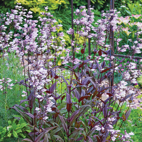 Dark Towers Penstemon