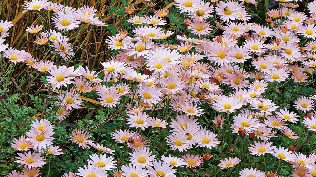 'Sheffield' chrysanthemum