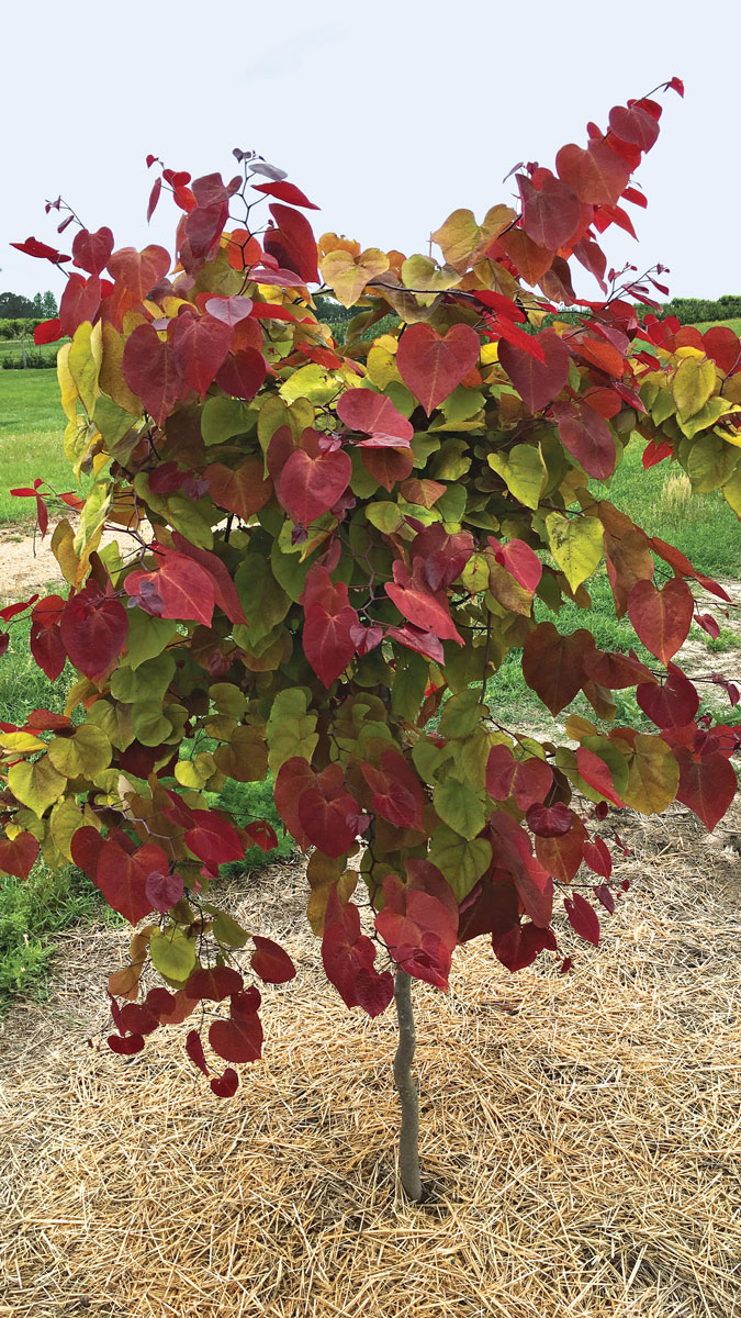 Flame Thrower® Redbud southern plains