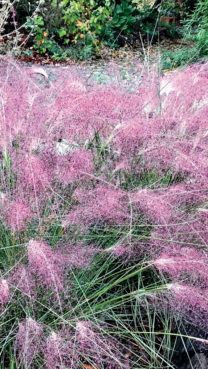 'FAST FORWARD' MUHLY GRASS southern plains