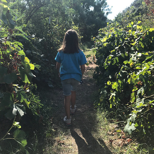 narrow path edged by grapevines