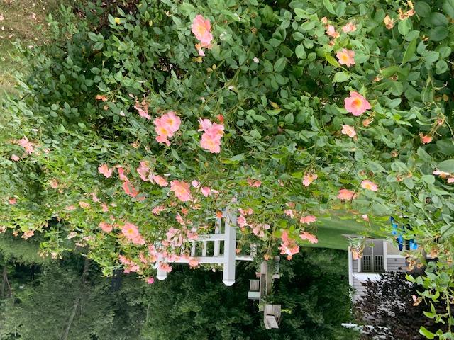 Clair Matin roses