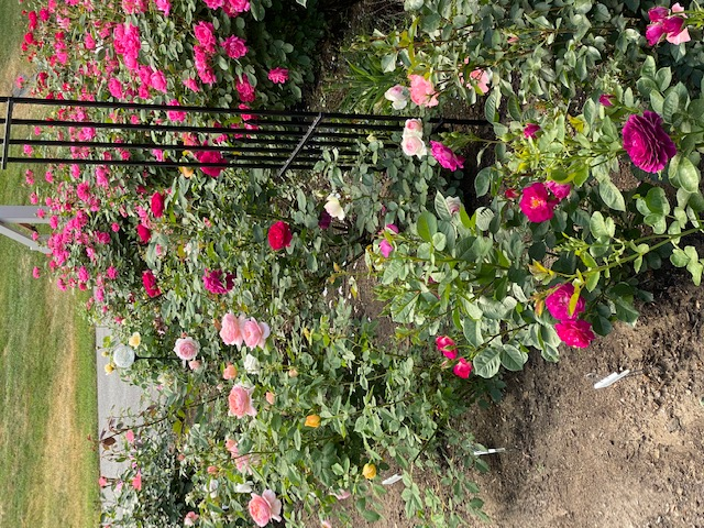 various pink roses