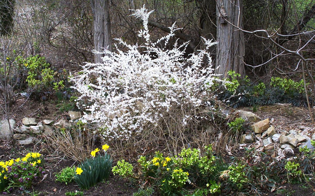 White forsythia