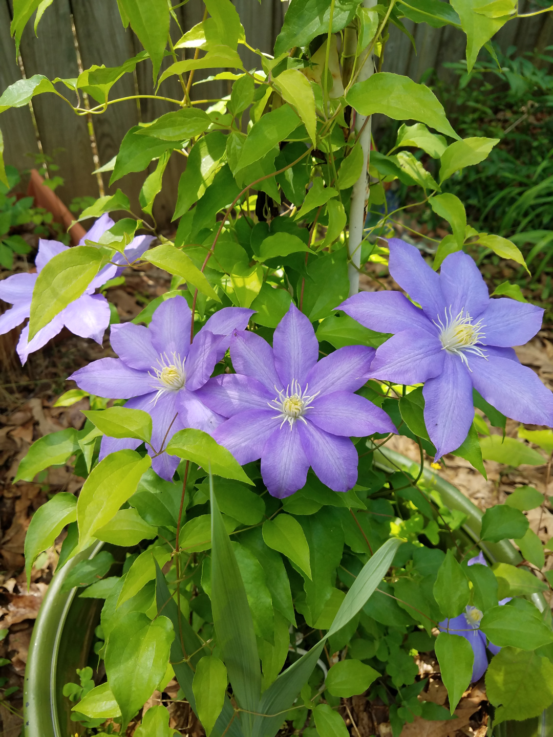 large-flowered clematis