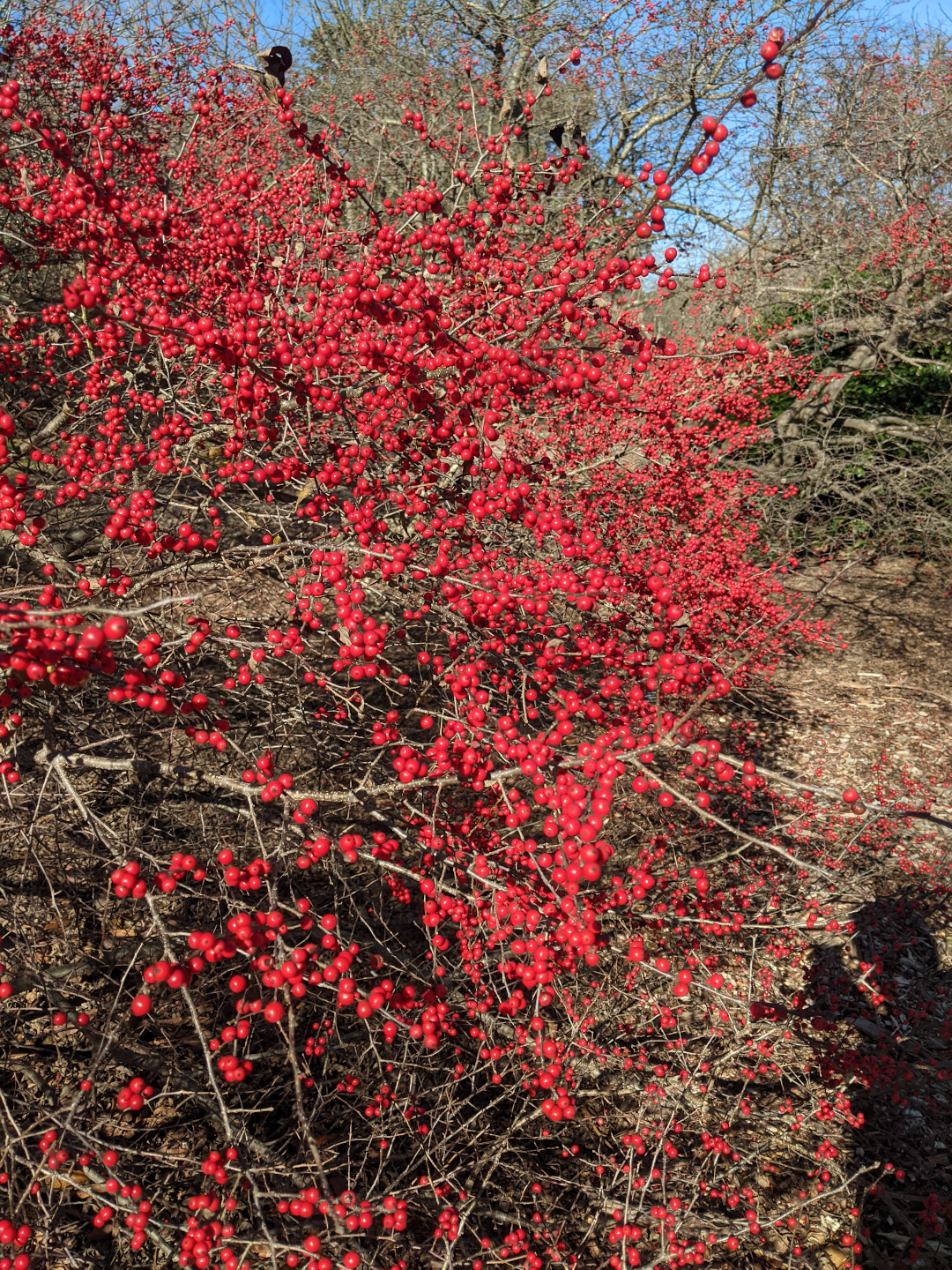 Winterberry hollies