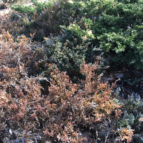 coniferous ground cover