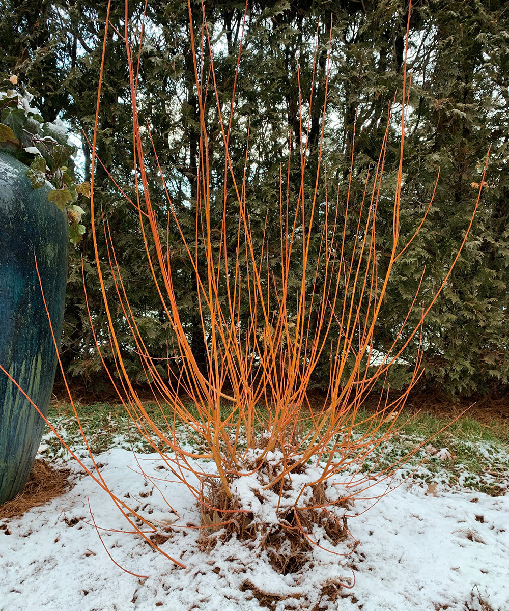 coral bark willow