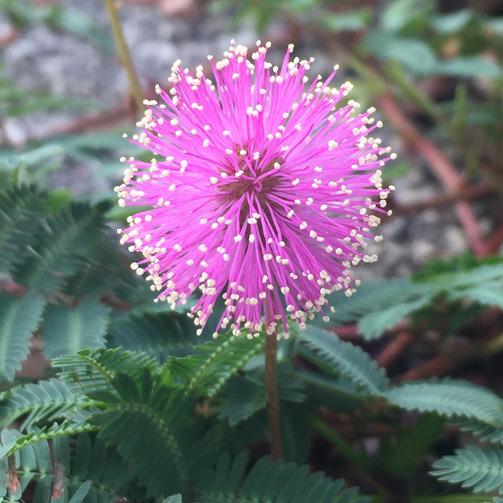 Roemers mimosa