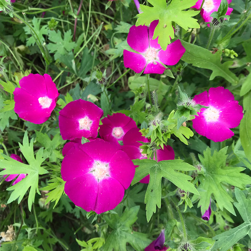 Purple poppy mallow