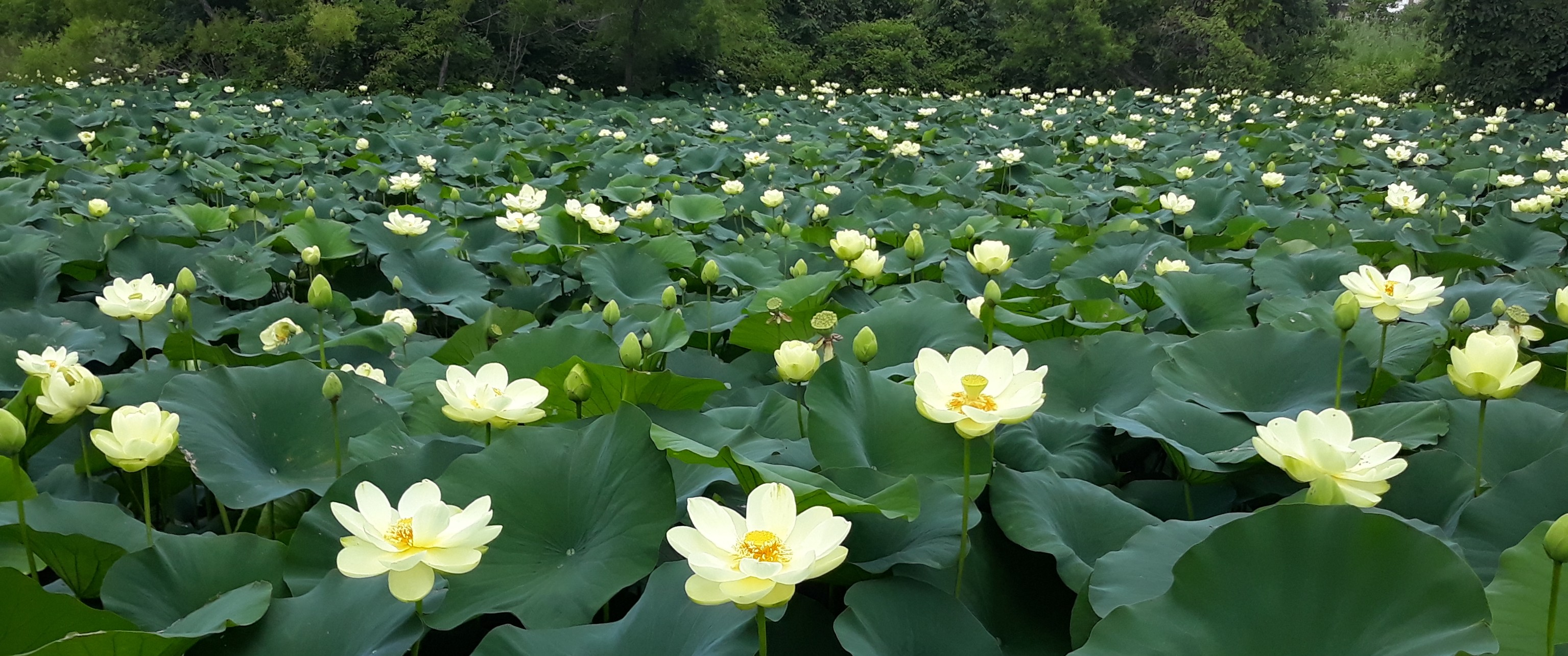 pond covered in yellow lotus