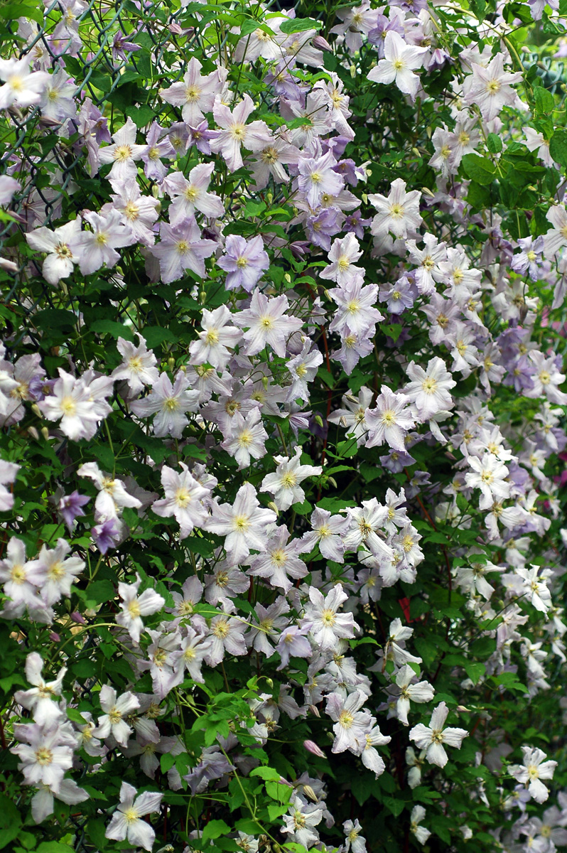 Blue Angel clematis