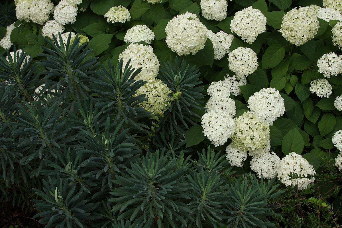 Balsam smooth hydrangea