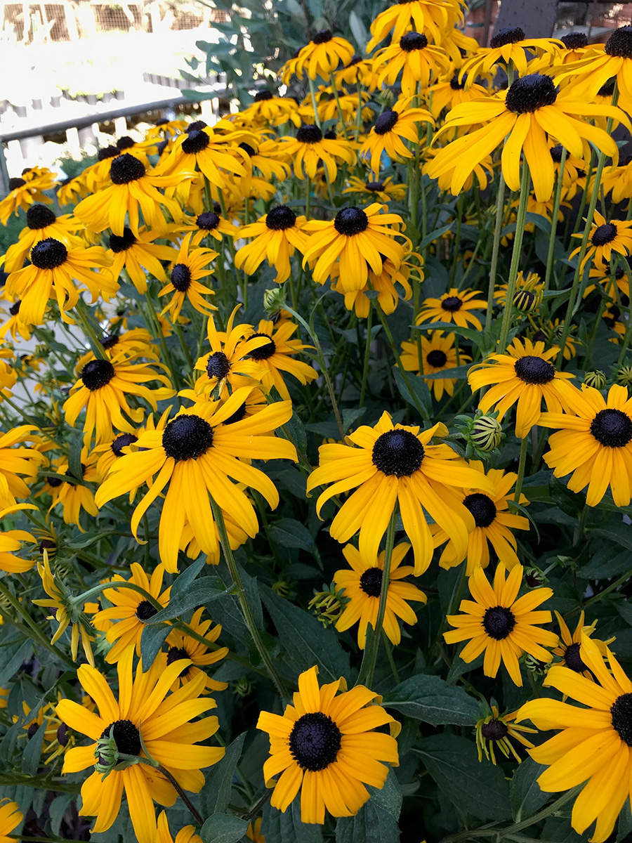 Goldsturm black-eyed Susans