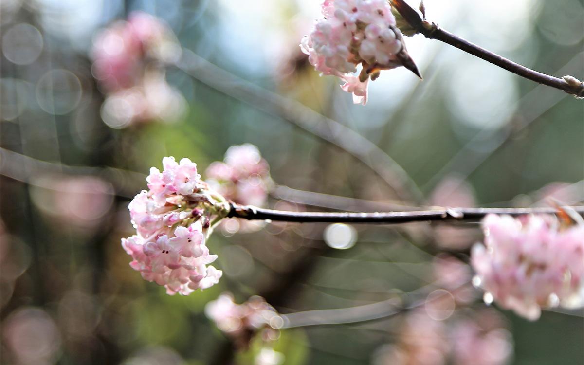 Pink Dawn Bodnant viburnum