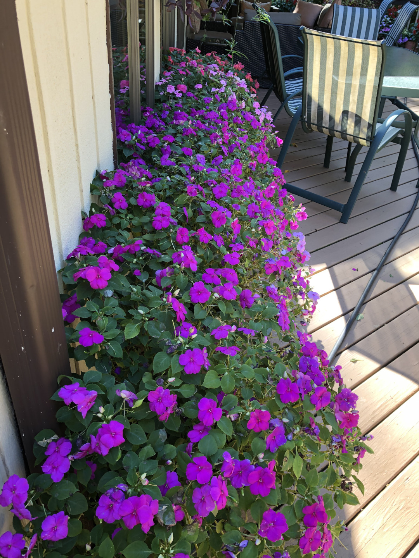 Impatiens walleriana in flower in a planter