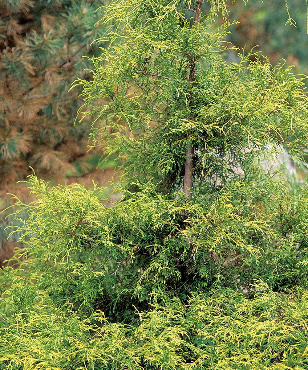 Golden Mop Japanese False Cypress