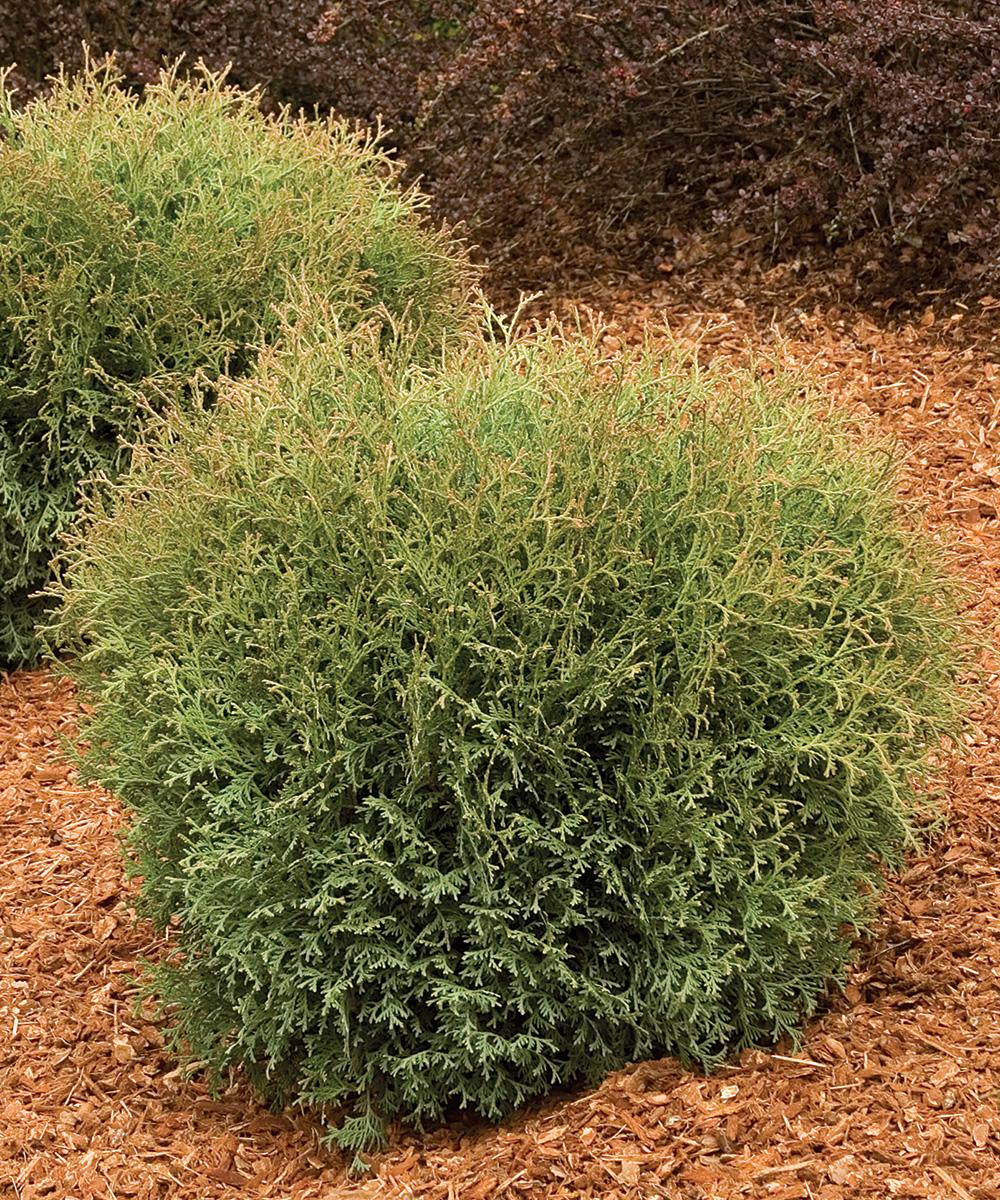 Hetz Midget Dwarf Globe Arborvitae