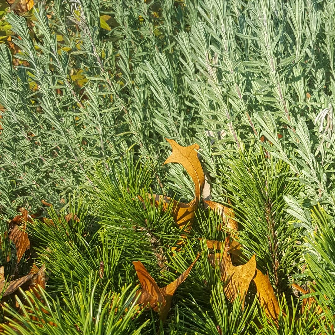 A lavender plant behind a small pine