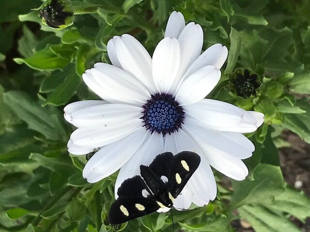 Moth on African daisies