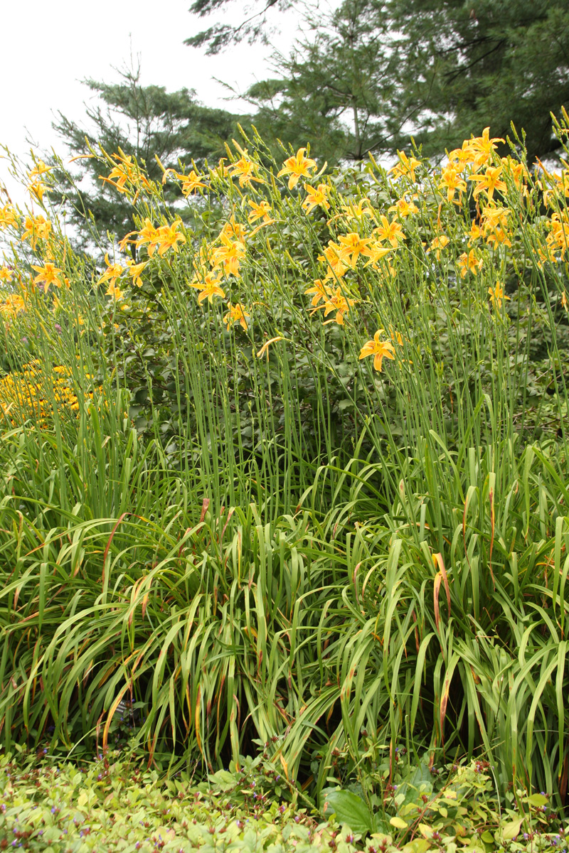 Another great option for the back of the border: 'Autumn Minaret' daylily (Hemerocallis 'Autumn Minaret', Zones 3-9)