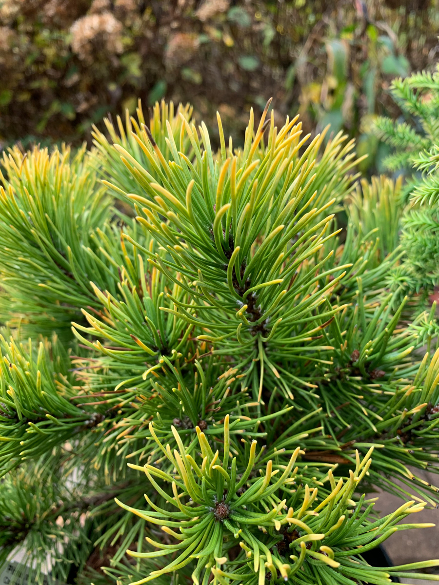 Get winter interest from 'Carsten's Wintergold' pine (Pinus mugo 'Carsten's Wintergold', Zones 2-7)