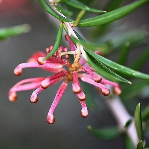Juniper-leaf grevillea