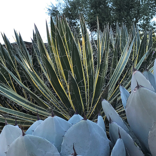 Queen of White variegated thread-leaf agave